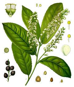PrunusLaurocerasus